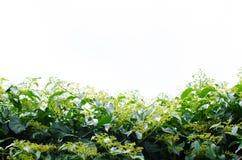 Grünes Gemüse im weißen Hintergrund Stockfotos