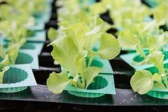Grünes Gemüse, organisches Wachsen ohne Boden Stockfotos
