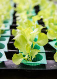 Grünes Gemüse, organisches Wachsen ohne Boden Stockfotografie
