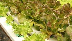 Grünes Gemüse in Wasserkultur stock footage
