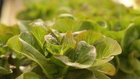 Grünes Gemüse in Wasserkultur stock video footage