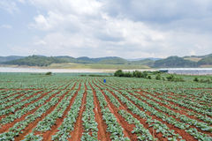 Grünes Gemüsefeld Stockbild