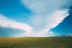 Grünes Gersten-Feld im Vorfrühling landwirtschaftlich Stockfotos