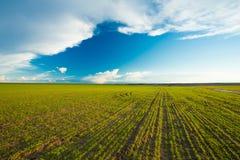 Grünes Gersten-Feld, Vorfrühling landwirtschaftlich Stockfotos