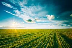 Grünes Gersten-Feld, Vorfrühling landwirtschaftlich Stockfoto