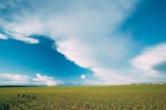 Grünes Gersten-Feld, Vorfrühling Landwirtschaftlicher Hintergrund Stockfotos