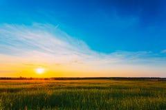 Grünes Gersten-Feld, Vorfrühling Landwirtschaftlicher Hintergrund Stockbild