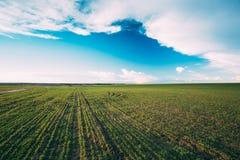 Grünes Gersten-Feld, Vorfrühling Landwirtschaftlicher Hintergrund Stockfoto