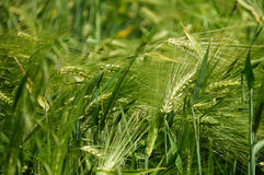 Grünes Gerstenfeld in Kargil, Nord-Indien Lizenzfreie Stockfotografie