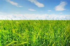 Grünes Gerstenfeld und blauer Himmel Stockfotos