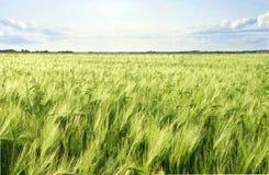 Grünes Gerstengetreidefeld und -himmel Lizenzfreie Stockbilder
