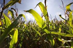 Grünes Getreidefeld Stockfotografie