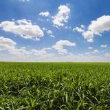 Grünes Getreidefeld und blauer Himmel Lizenzfreie Stockfotos