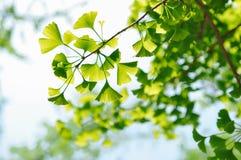 Grünes Ginkgo-Blatt auf Niederlassung lizenzfreie stockbilder