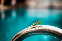 Grünes Gottesanbeterin religiosa auf Metallhandlauf auf dem Swimmingpool, der auf mich aufpasst Stockfotografie