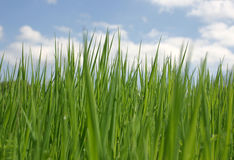 Grünes Gras über bewölktem Himmel Stockfotos