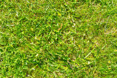Grünes Gras als Beschaffenheits- oder Zusammenfassungshintergrund Stockfotografie
