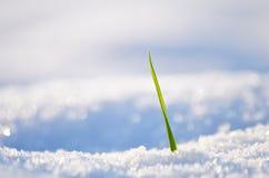 Grünes Gras auf einem Hintergrund des Schnees Lizenzfreie Stockbilder