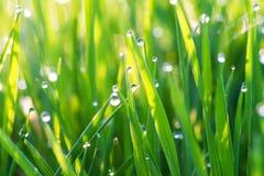 Grünes Gras auf einem Rasen mit Tautropfen Stockbild