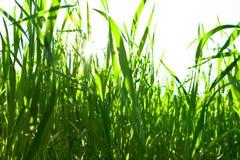 Grünes Gras auf einem weißen Hintergrund Stockbilder