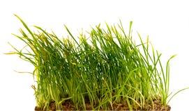 Grünes Gras auf weißem Hintergrund Stockfoto