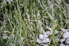 Grünes Gras bedeckt mit Schnee Stockbilder