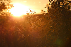 Grünes Gras bei gelbem Sonnenuntergang Stockbild