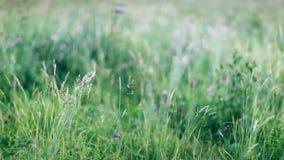 Grünes Gras bewegte sich durch Sommerwind auf üppiger Wiese stock video footage