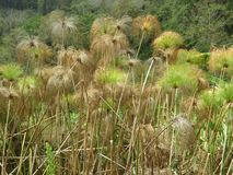 Grünes Gras in Boquete Panama stockfotos