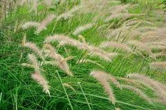 Grünes Gras, das in den Wind beeinflußt Stockbild