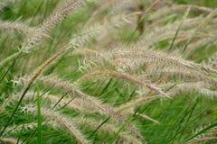 Grünes Gras, das in den Wind beeinflußt Stockbilder