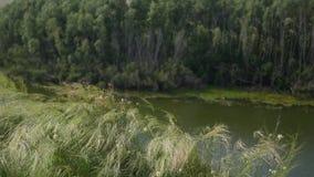 Grünes Gras, das in den Wind nahe dem Fluss beeinflußt stock video
