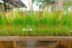 Grünes Gras, das in einem Topf hergestellt vom Bambus wächst lizenzfreies stockfoto