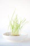 Grünes Gras, das in einem weißen Teller wächst lizenzfreies stockfoto