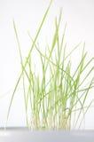 Grünes Gras, das in einem weißen Teller wächst lizenzfreie stockfotografie