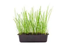 Grünes Gras, das lokalisiert wächst Lizenzfreie Stockfotografie