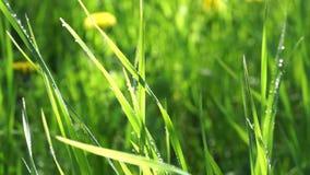 Grünes Gras, das Regen die Sonne fallenläßt, ist glänzend