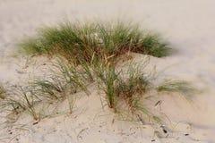 Grünes Gras in den Dünen stockbild