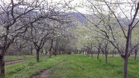 Grünes Gras in den Obstgartenpflaumen lizenzfreies stockbild