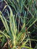 Grünes Gras in den Tropfen des Taus auf einem Sommermorgen Stockbilder