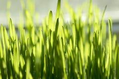 Grünes Gras der Nahaufnahme Stockfotografie