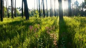 Grünes Gras der Waldsonne stock video footage