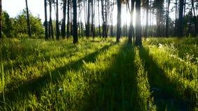 Grünes Gras der Waldsonne stock video