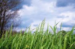 Grünes Gras des Frühlinges lizenzfreies stockbild
