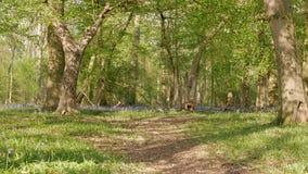 Grünes Gras des Fußwegs im Frühjahr Waldund Feld von Glockenblumen Neigung schoss ab stock video