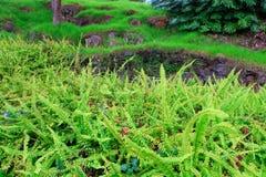 Grünes Gras des hellen Farns im tropischen Garten. Kula. Maui. Hawaii. lizenzfreies stockfoto