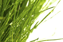 Grünes Gras des neuen Frühlinges mit dem Tau lokalisiert Stockfotografie
