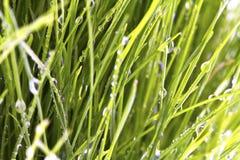 Grünes Gras des neuen Frühlinges mit dem Tau lokalisiert Stockbild