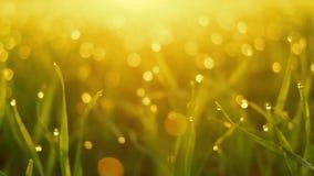 Grünes Gras des neuen Frühlinges mit Sonne des Taus morgens Reibungsfreie Bewegung stock video