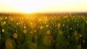Grünes Gras des neuen Frühlinges mit Sonne des Taus morgens Reibungsfreie Bewegung stock footage